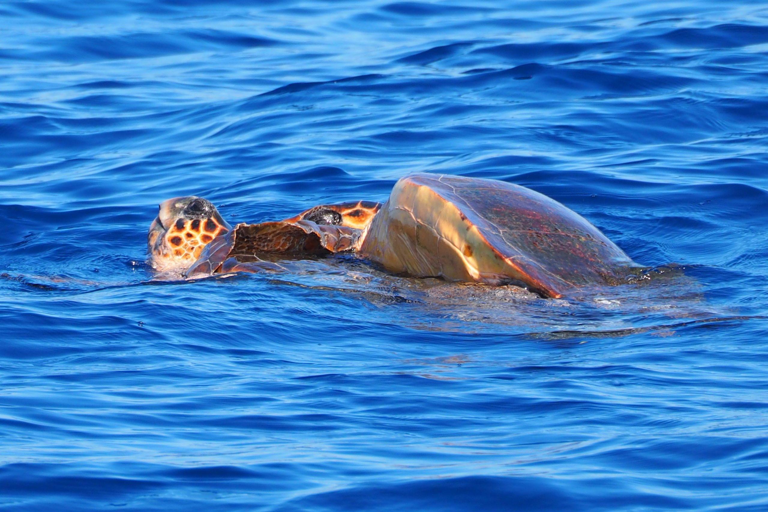 Unechte Karettschildkröten bei der Paarung
