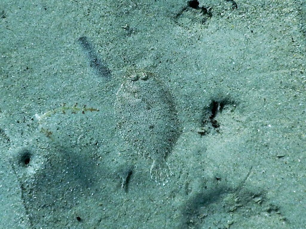 Plattfisch auf Sand