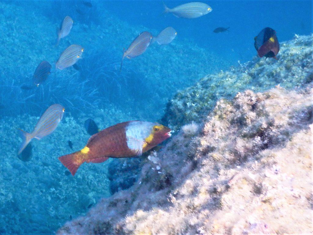 Europäischer Lippenfisch an Fels