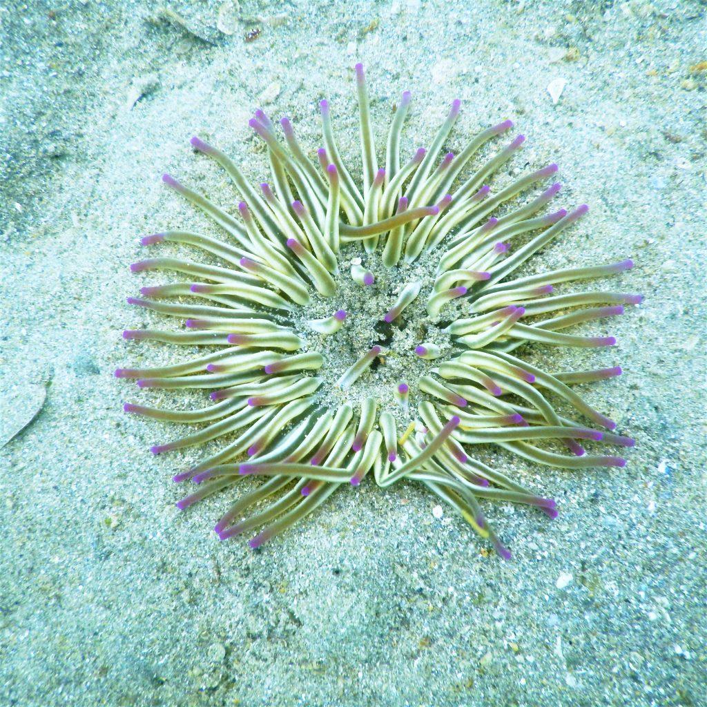 Seeanemone auf Sand