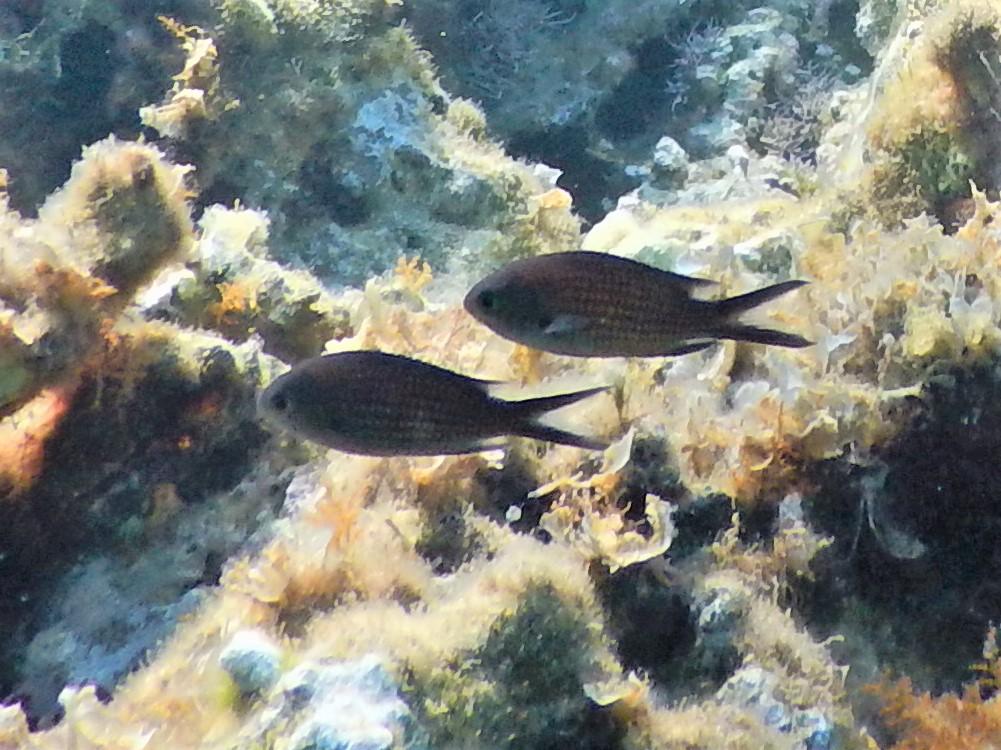 Zwei Mönchsfische