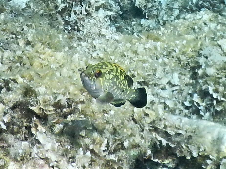 Brauner Zackenbarsch vor Algen
