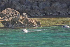 Zwei Mönchsrobben im Wasser