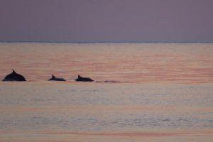 Delphine vor Agios Georgios, Korfu