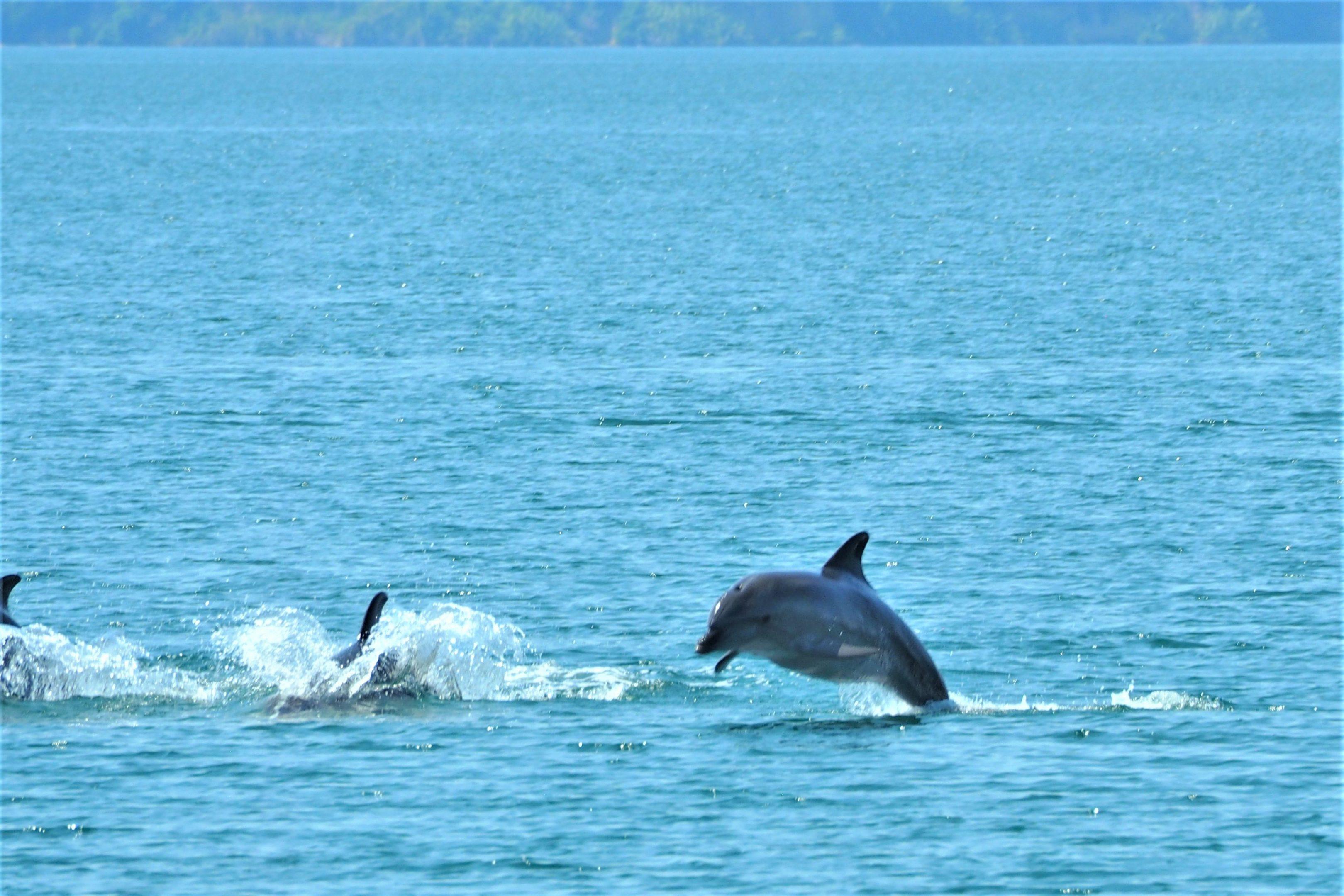 Ein springender Delphin